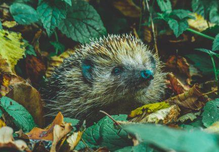 Hedgehog - Tadeusz Lakota on Unsplash